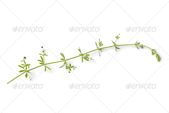 Sprig of Cleavers - Stock Photo - Images