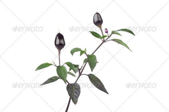 Twig with black Peruvian peppers - Stock Photo - Images
