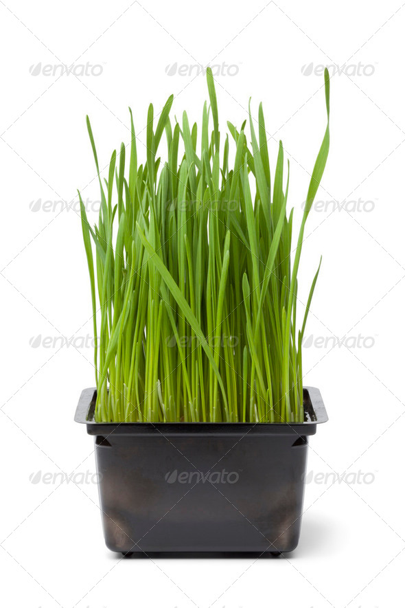 Organic wheat grass in plastic container - Stock Photo - Images