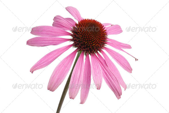 Single Echinacea purpurea flower - Stock Photo - Images
