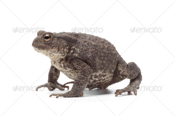 Common toad - Stock Photo - Images