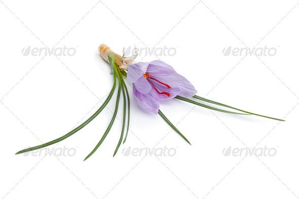 Crocus sativa flower - Stock Photo - Images