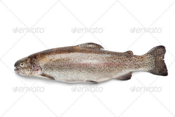 Fresh Salmon trout - Stock Photo - Images