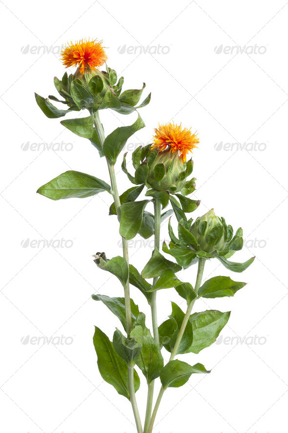 Orange Safflower - Stock Photo - Images
