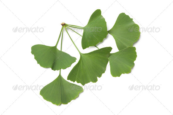 Ginkgo biloba leaves - Stock Photo - Images