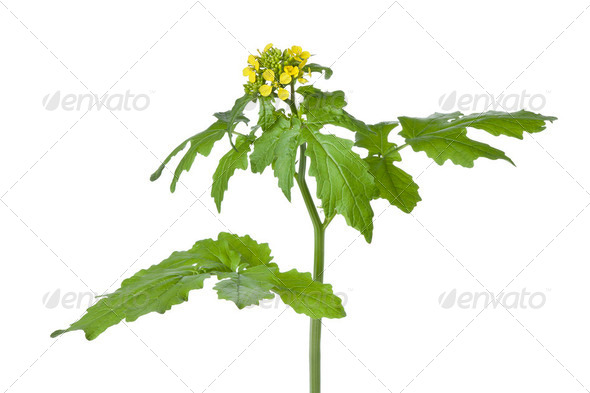 Flowering mustard plant - Stock Photo - Images