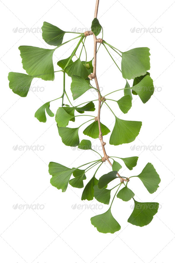 Twig of Ginkgo biloba leaves - Stock Photo - Images