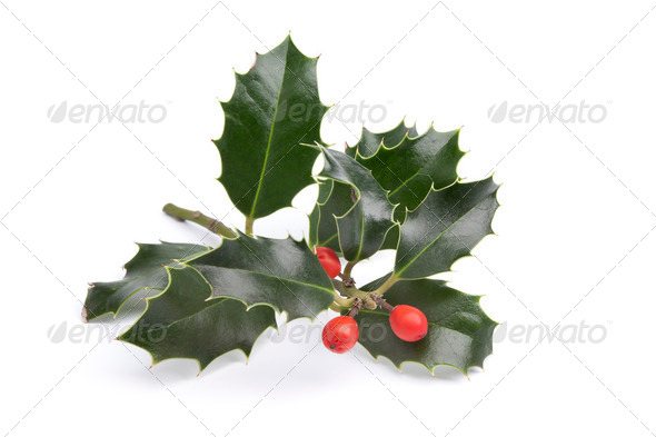 Twig of Holly - Stock Photo - Images