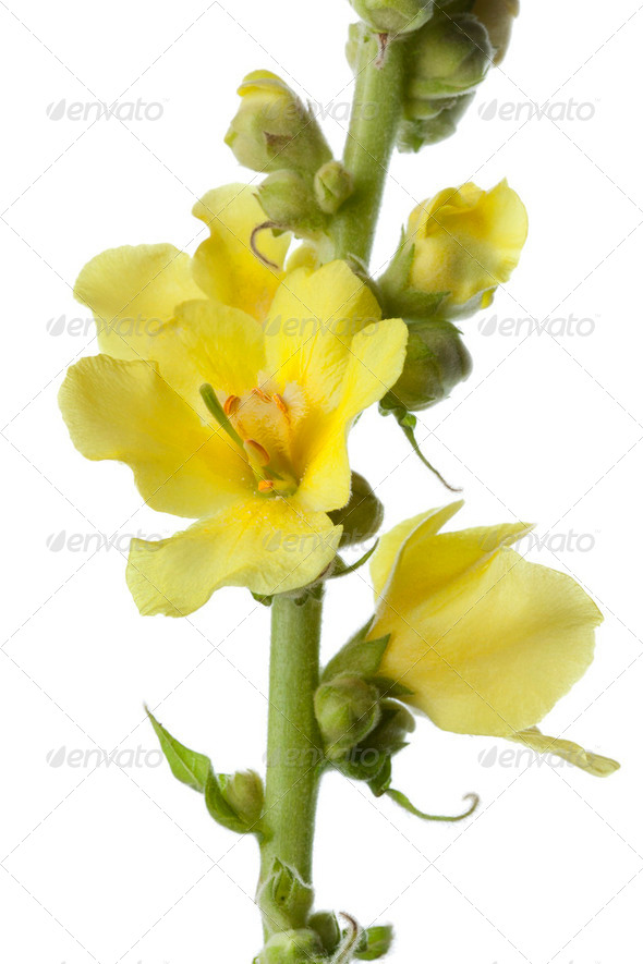 Yellow Verbascum - Stock Photo - Images