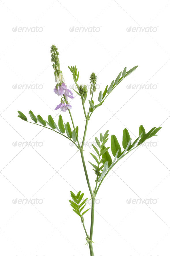 Twig of Galega officinalis - Stock Photo - Images