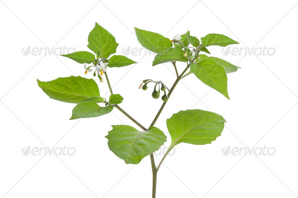 Black Nightshade - Stock Photo - Images