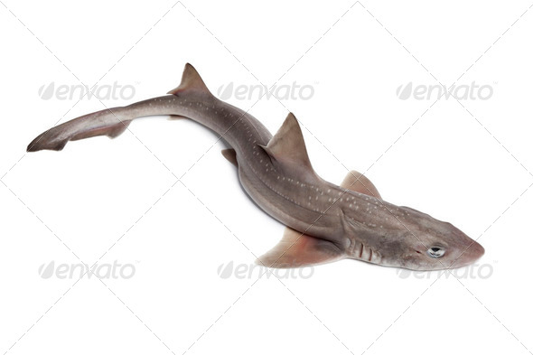 Whole  fresh small-spotted catshark - Stock Photo - Images