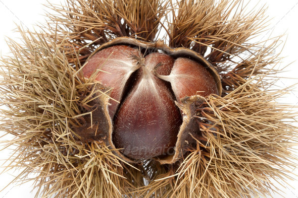 Sweet chestnut in spiked pod - Stock Photo - Images