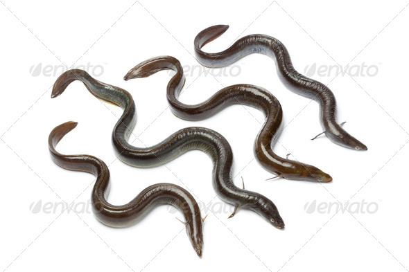 Fresh  European eel - Stock Photo - Images