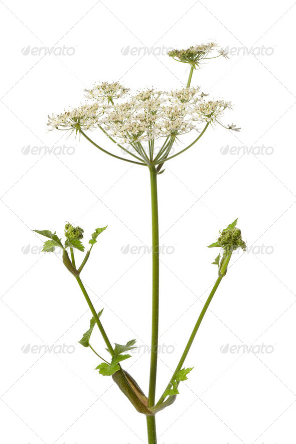 Wild Angelica flower - Stock Photo - Images