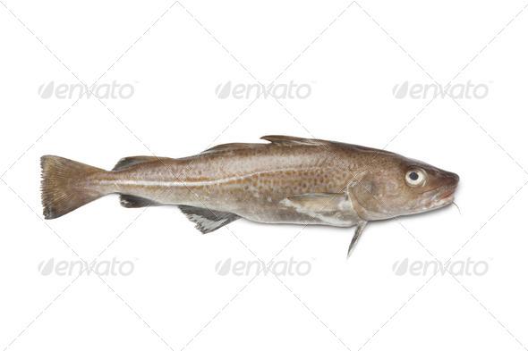 Fresh atlantic cod fish - Stock Photo - Images