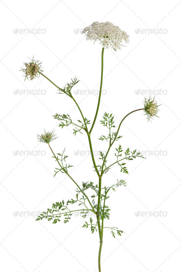 Wild carrot flower - Stock Photo - Images