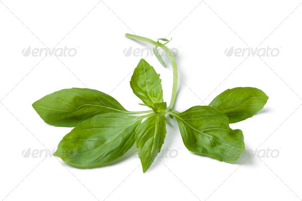 Sprig of fresh green basil - Stock Photo - Images