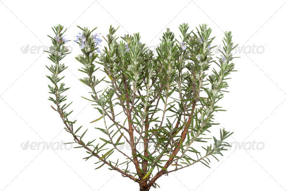 Twigs of fresh blooming rosemary - Stock Photo - Images
