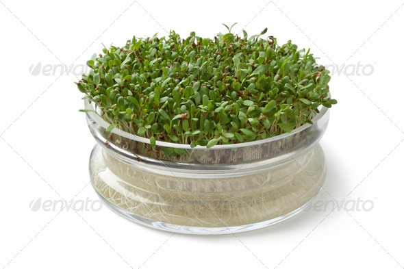 Alfalfa sprouts growing in a glass container - Stock Photo - Images