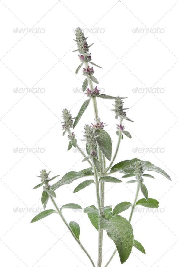 Blooming  Lamb's Ear plant - Stock Photo - Images