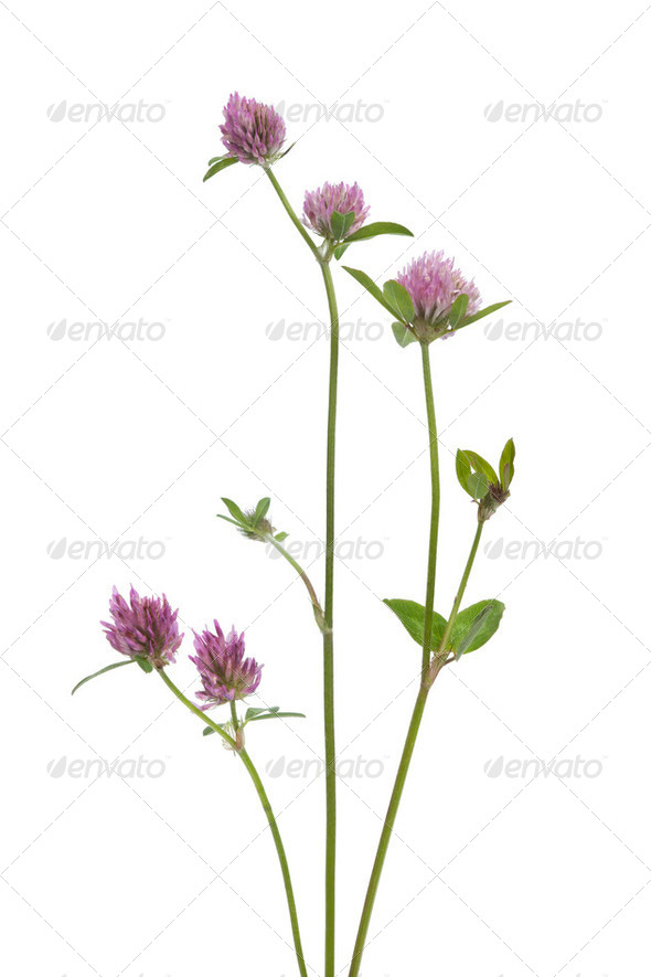 Red clover - Stock Photo - Images
