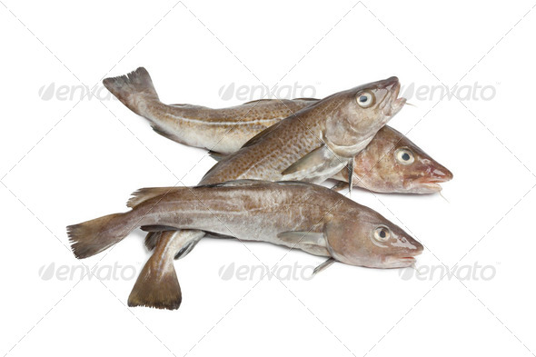 Fresh atlantic cod fishes - Stock Photo - Images