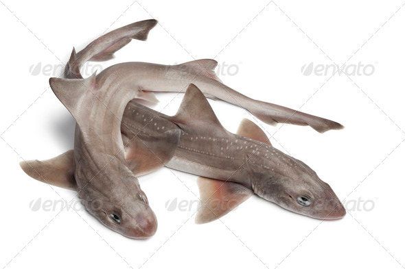 Whole  fresh small-spotted catsharks - Stock Photo - Images