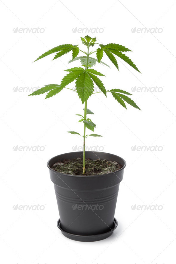 Marijuana plant in plastic pot - Stock Photo - Images