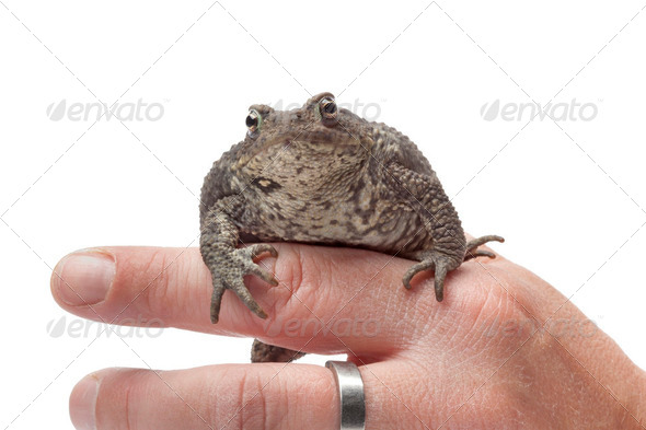 Common toad sitting on a finger - Stock Photo - Images
