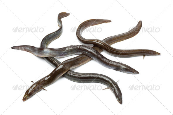 Fresh  European eel - Stock Photo - Images