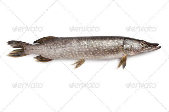 Fresh Northern pike fish - Stock Photo - Images