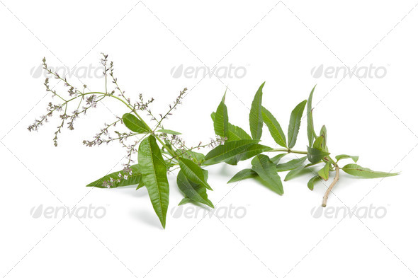 Twig of flowering verveine - Stock Photo - Images