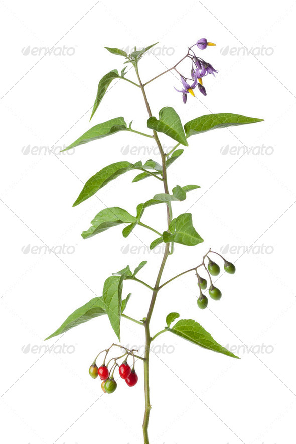 Bittersweet plant with flowers and berries - Stock Photo - Images