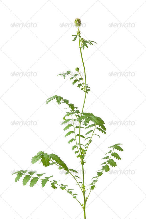 Flowering Sanguisorba minor, Small burnet isolated on white background - Stock Photo - Images