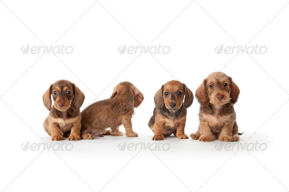 dachshund puppies - Stock Photo - Images