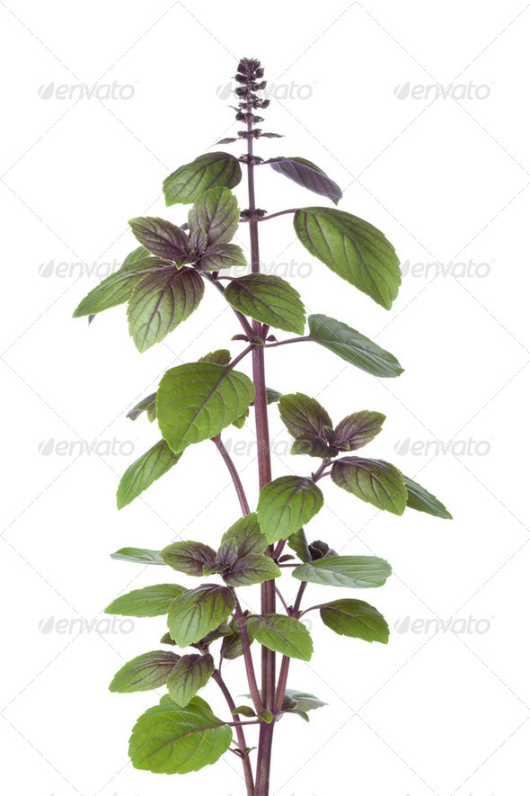 Fresh red basil plant - Stock Photo - Images