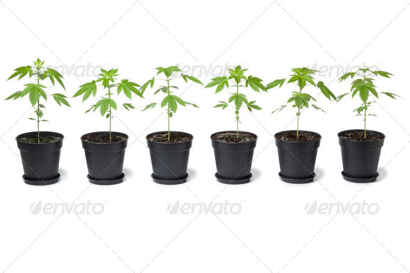 Row of Marijuana plants in plastic pot - Stock Photo - Images