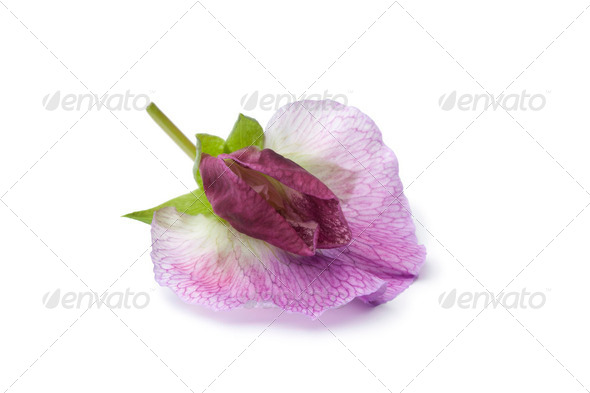 Single fresh Sweet pea flower - Stock Photo - Images