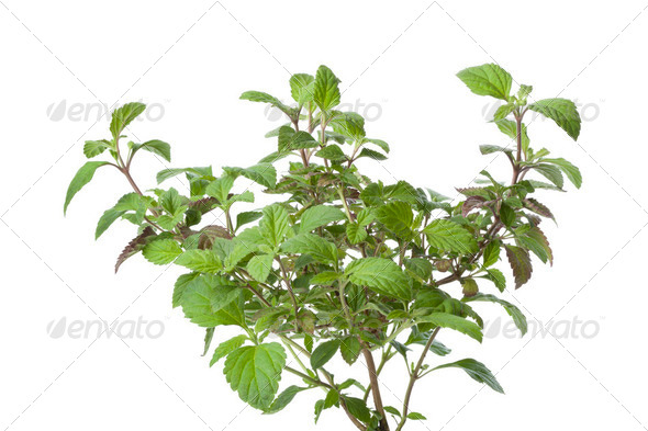 Fresh Aztec sweet herb - Stock Photo - Images