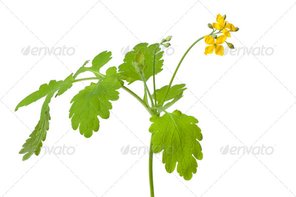 Twig of fresh common rue on white background - Stock Photo - Images