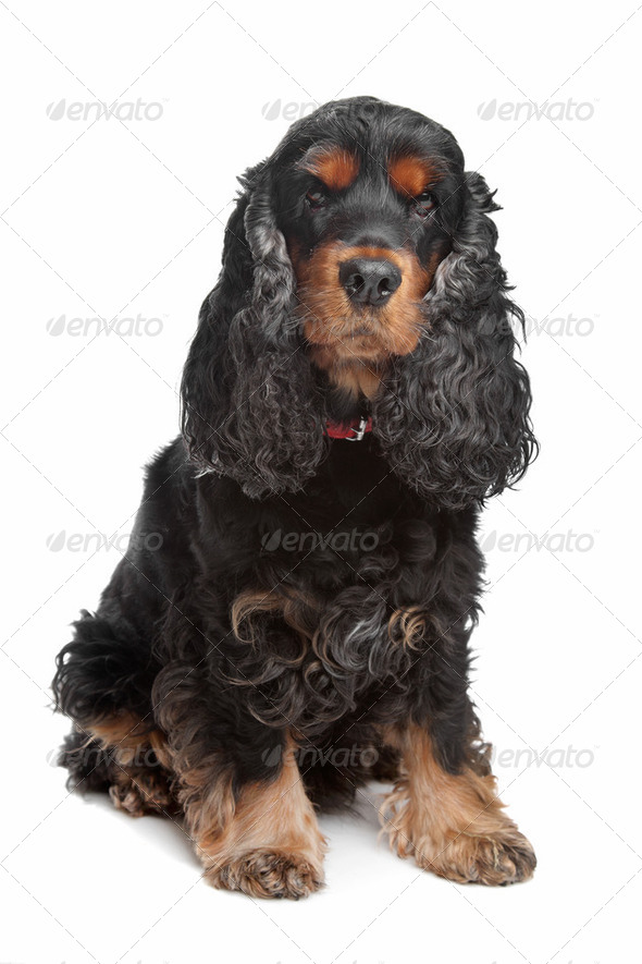 black and tan English cocker spaniel - Stock Photo - Images