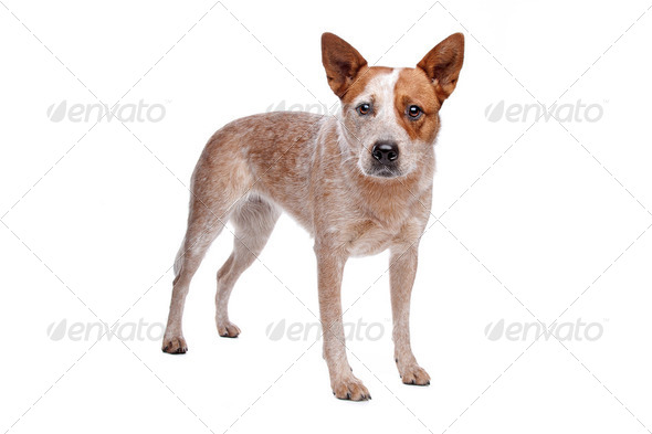 Australian Cattle Dog (red coat) - Stock Photo - Images