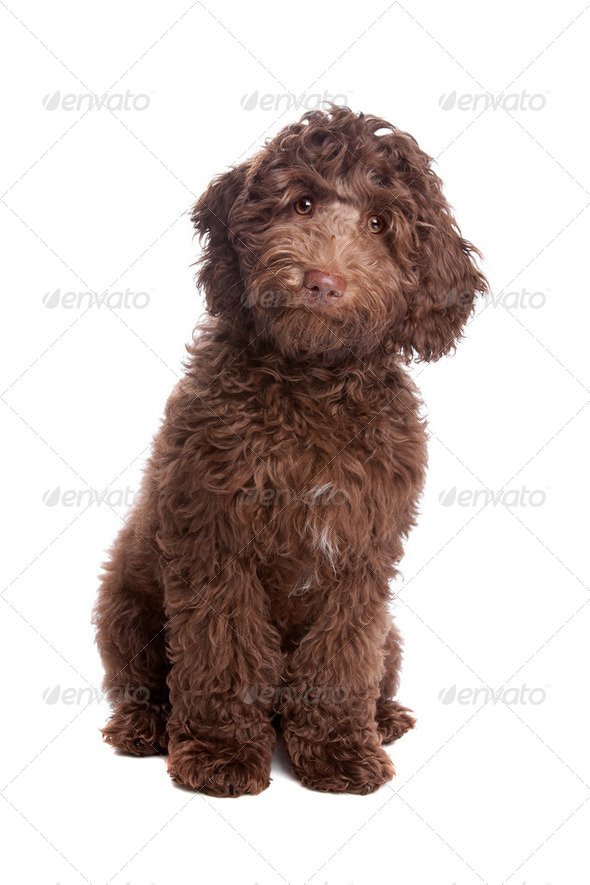 Labradoodle puppy - Stock Photo - Images