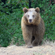 8K The Brown Bear is Coming in The Forest - VideoHive Item for Sale