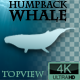 Humpback Whale Swimming Top View  - VideoHive Item for Sale