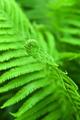 fern - PhotoDune Item for Sale