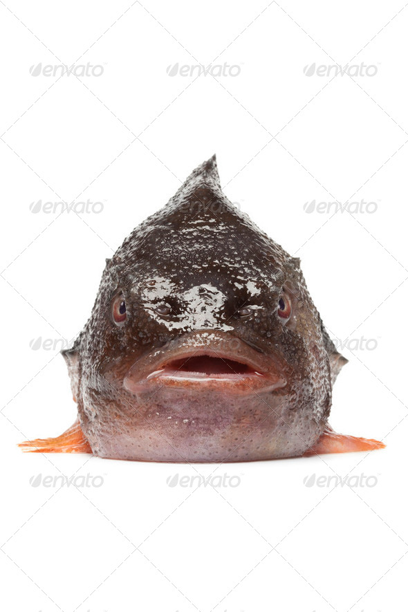 Front of a lumpsucker fish - Stock Photo - Images