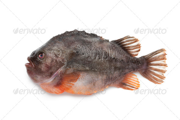 Lumpsucker fish - Stock Photo - Images