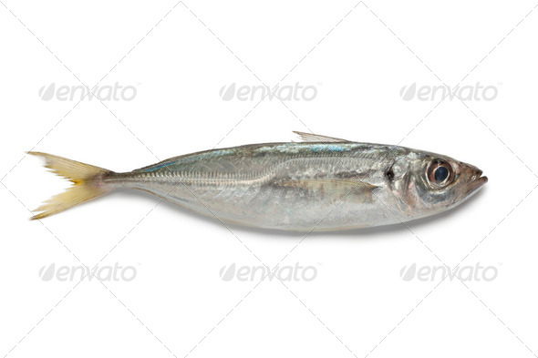 Single Atlantic horse mackerel - Stock Photo - Images